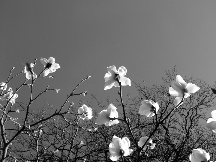 01_shrub-white-magnolia