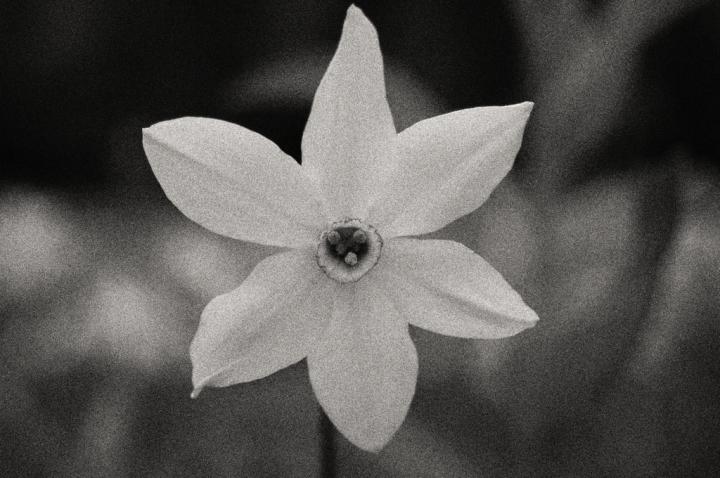 09_flowers-daffodil
