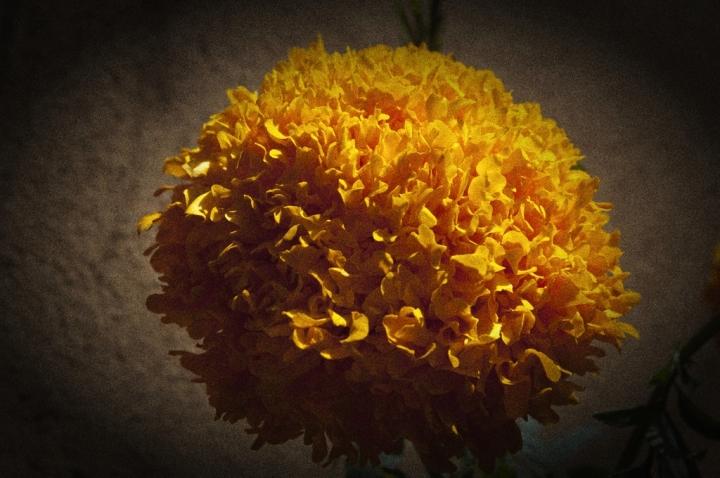 20_flowers-marigold